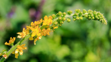 Photo of 1. Agrimony Bachblüte