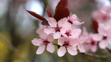 Photo of 6. Cherry Plum Bachblüte