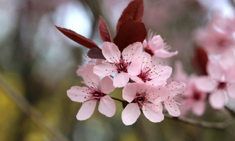 Kirschpflaumen Blüte - cherry plum