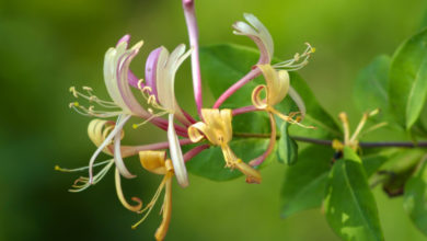 Photo of 16. Honeysuckle Bachblüte