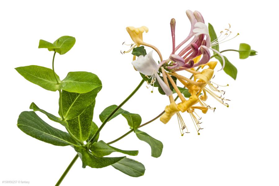 Honeysuckle - Geissblatt