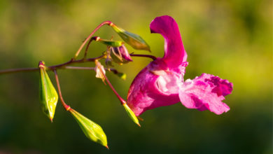 Photo of 18. Impatiens Bachblüte