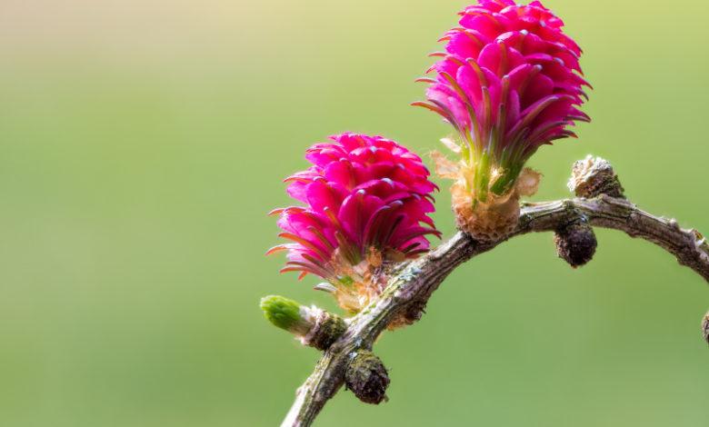 Larch - Blüte einer Lärche