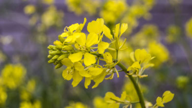 Photo of 21. Mustard Bachblüte