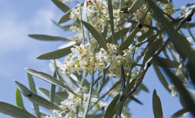 Bachblüte Olive // olea europea