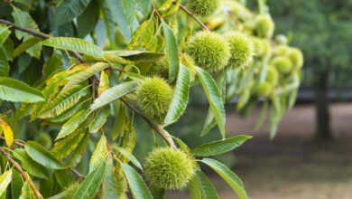 Photo of 30. Sweet Chestnut