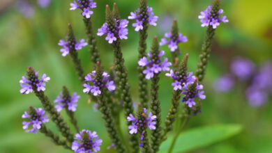 Photo of 31. Vervain Bachblüte