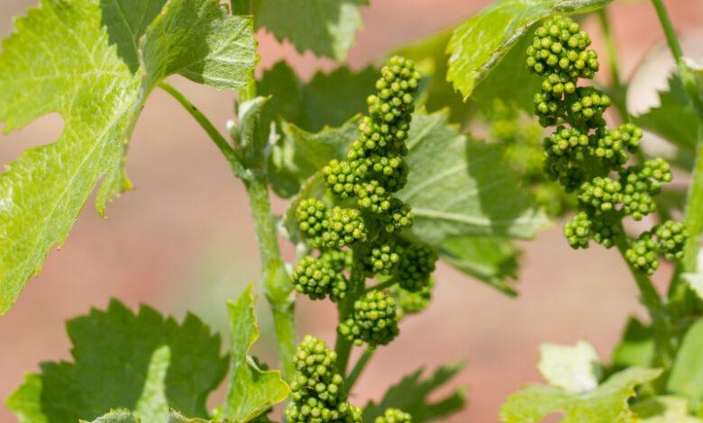 Bachblüte Vine // Vitis-Vinifera