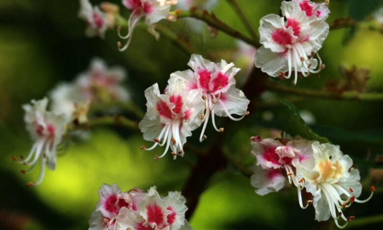 Kastanie Blüte - Aesculus Hippocastanum