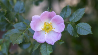 Photo of 37. Wild Rose Bachblüte